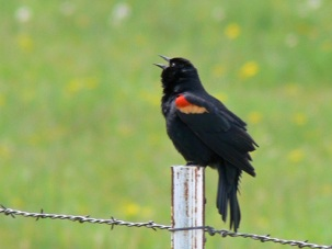 Red-winged blackbird on campus