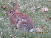 Photo by Jim Sparrell (of the bunny that ate his kale)