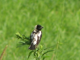 Jim Sparrell (faculty) shares aphoto of a bobolink